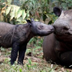 sumateran rhino ratu