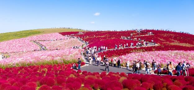 """Pemandangan Menakjubkan Taman Bunga """"Hitachi Seaside"""" di Jepang"""
