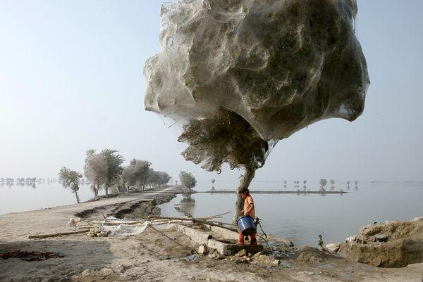 Selimut Jaring Laba-laba Memenuhi Pepohonan di Pakistan Anak-anak