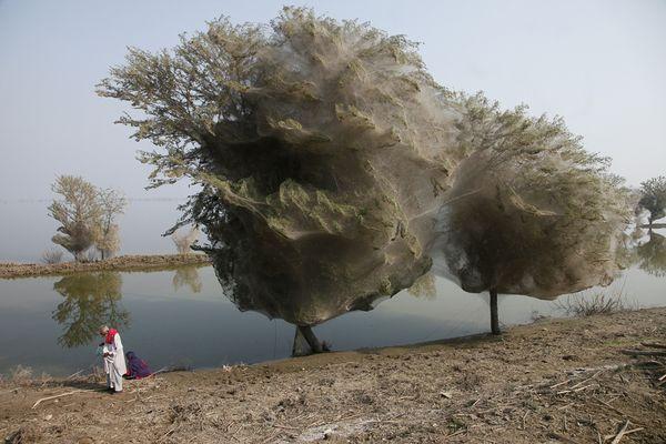 Selimut Jaring Laba-laba Memenuhi Pepohonan di Pakistan Dewasa