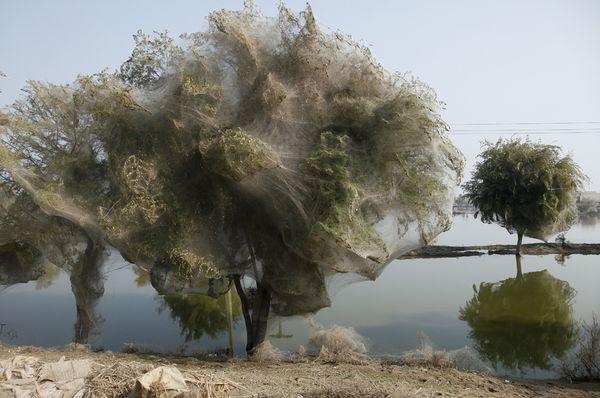 Selimut Jaring Laba-laba Memenuhi Pepohonan di Pakistan Mengurangi Populasi Nyamuk