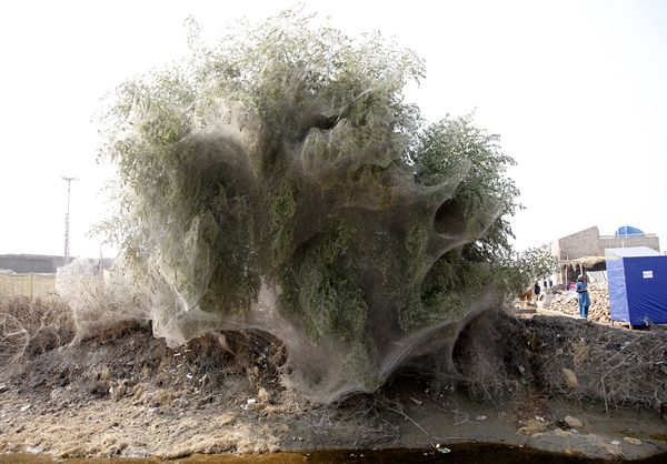 Selimut Jaring Laba-laba Memenuhi Pepohonan di Pakistan Sisa Banjir