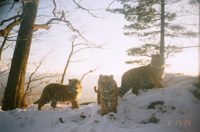 Amur tiger cubs by Amur Leopard Project, Southwest Primorski Krai, Russian Far East
