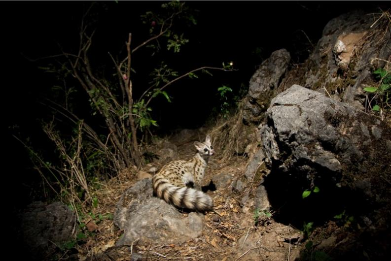 Common genet by Sebastian Kennerknecht, Hawf Protected Area, Yemen