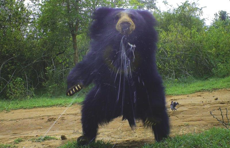 Spitting sloth bear by WWF-India