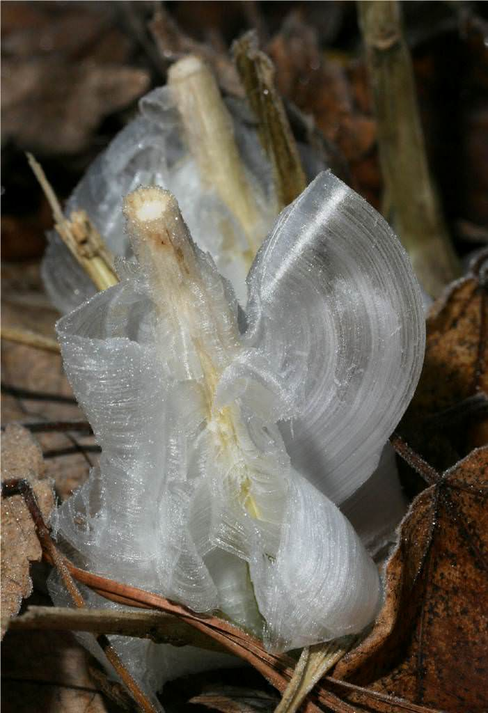 frost flower bunga es 13