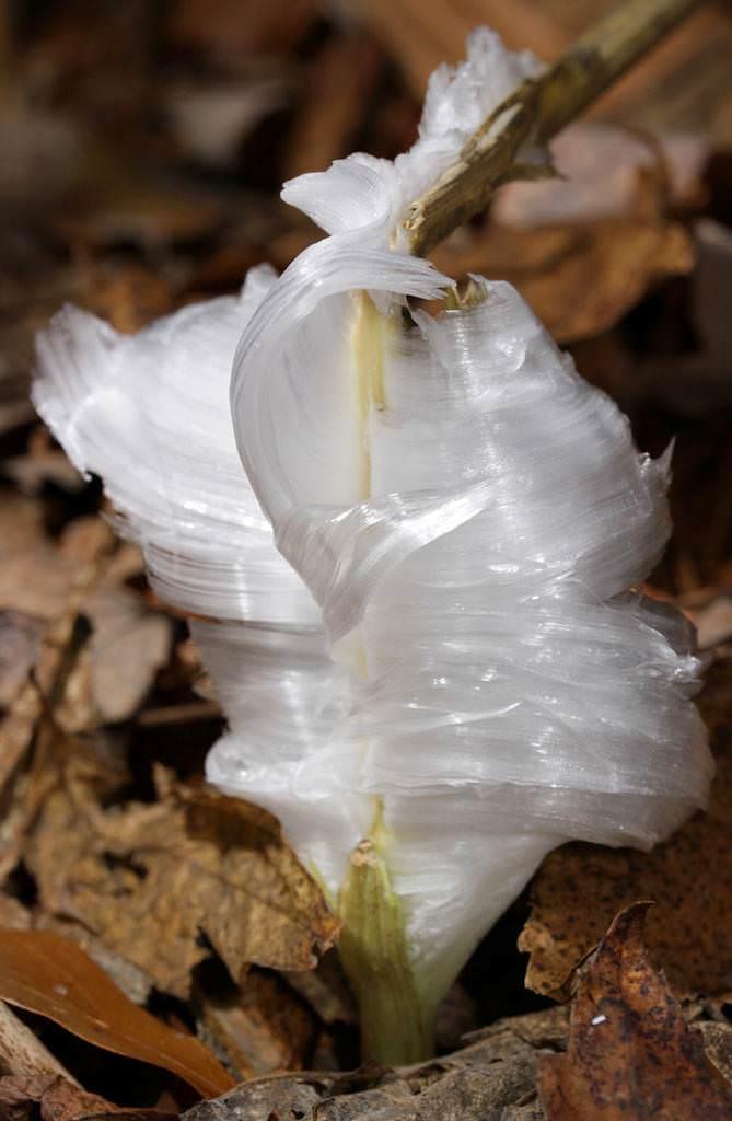 frost flower bunga es 2