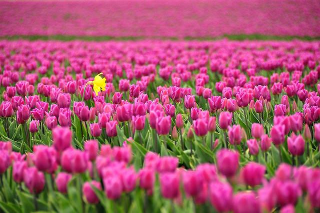 taman bunga tulip belanda 4