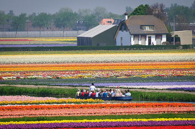 taman bunga tulip belanda 5