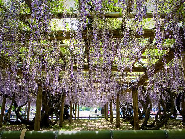 pohon wisteria 10