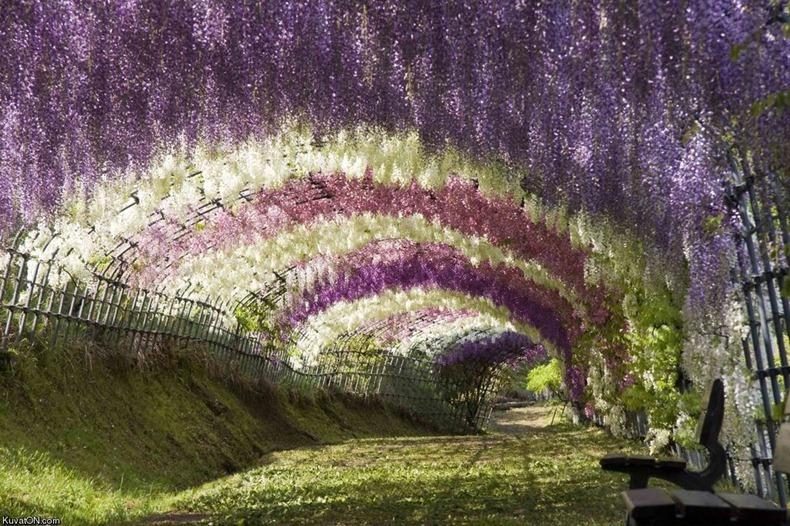 taman bunga ashikaga jepang