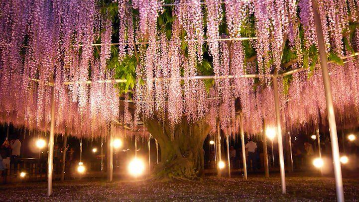 pohon wisteria 2