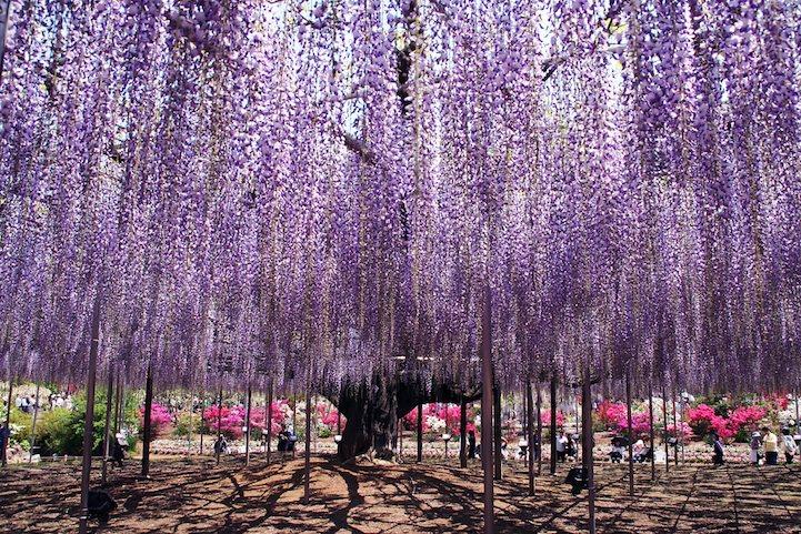 pohon wisteria 8