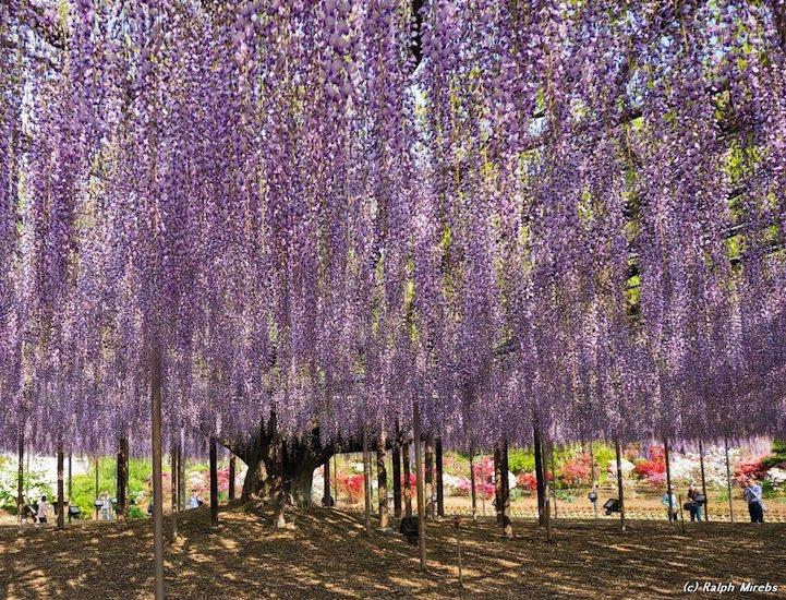 pohon wisteria 3