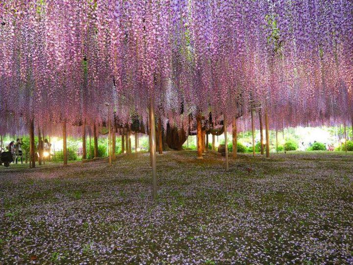 pohon wisteria 4