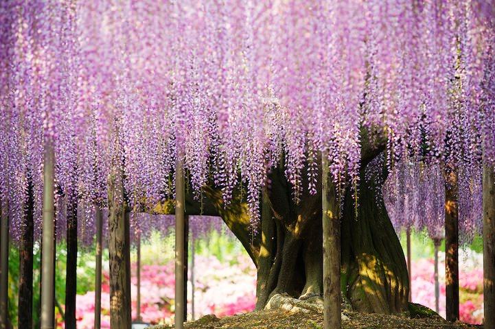 pohon wisteria 5