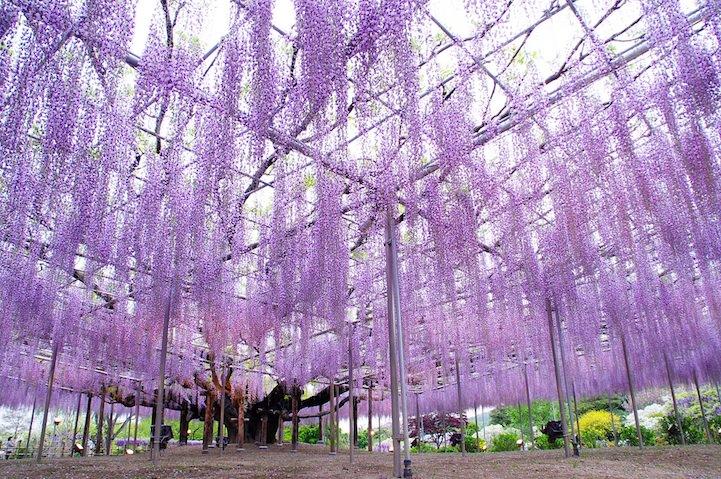 pohon wisteria 6