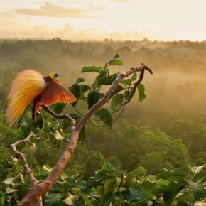 Tim Laman Bird of Paradise 4