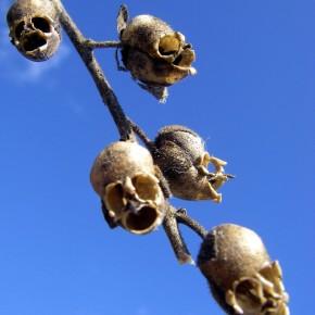 bunga snapdragon tulang kepala 4