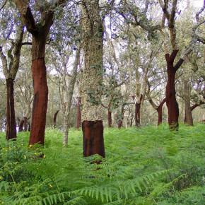 manfaat pohon gabus 10