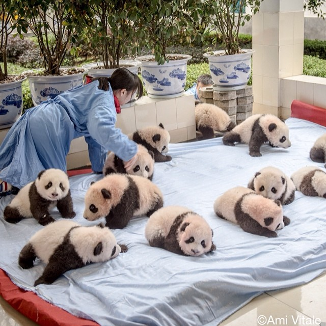 kegiataan panda konservasi china tiongkok